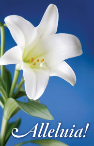 Lily on Blue Background Bulletin, Regular Size: Quantity per package: 100