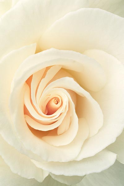 White Rose: Wedding Bulletin: Quantity per Package: 100